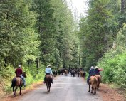 Moving cows in the Plumas National Forest