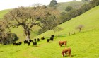 cattle & oaks copy