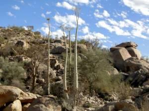 Los Cirios cactus