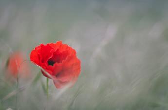 Poppy World War II