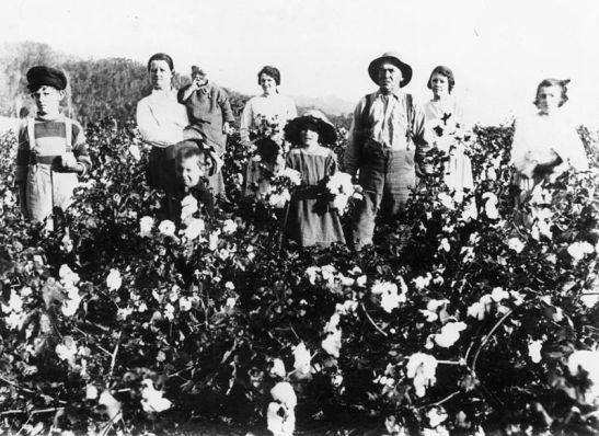 Cotton picking Queensland