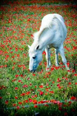 promenade-caleches-camargue-cheval-ete