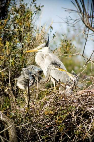 promenade-caleches-camargue-heron