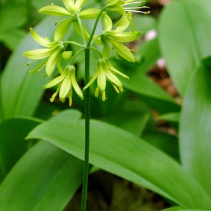 Clintonia on stewarded property