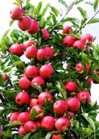 calendrier lunaire arbre fruitier pommes 2