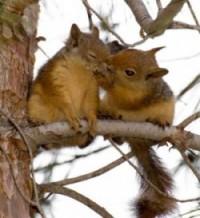 calendrier lunaire écureuil amoureux libido