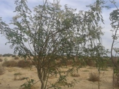 calendrier lunaire arbre moringa
