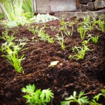calendrier lunaire repiquage carottes