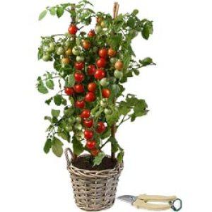 calendrier lunaire tomate dans pot