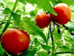 calendrier lunaire tomate sur pied