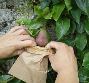 calendrier lunaire ensachage des fruits