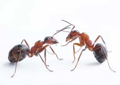 calendrier lunaire fourmi