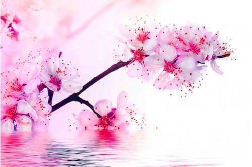 calendrier lunaire fleurs de cerisier