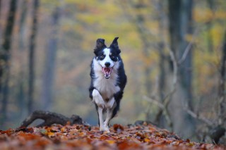 border-collie-calgary-dog-life