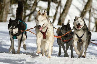 sled-dogs-running-photo