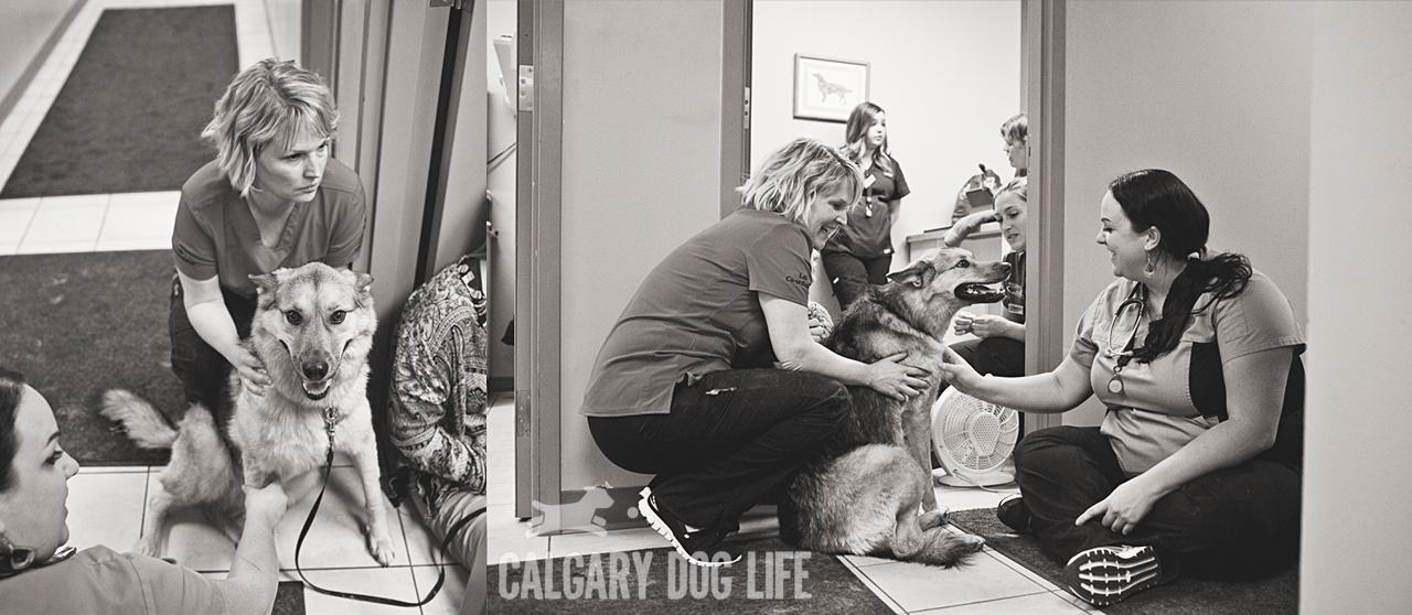 western_vet_calgary_blood_bank_dogs