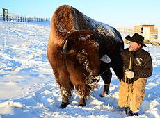 DEWEY buffalo