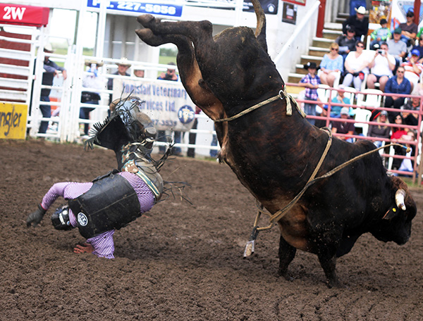 A bullrider flies off at the Innisfail rodeo. Photo by Casey Richardson.