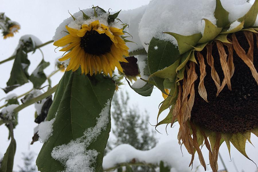 Sunflower Alexandra Nicholson
