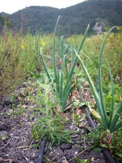 Pepper Creek Farms Onions by Liz Dodder