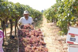 Table Grape Shipments Soar