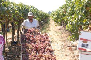 table grape growers