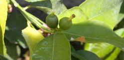 Valley Citrus Growers Receive 0% Water Allocation; Citrus Growers Available for Interviews April 23, 2014!