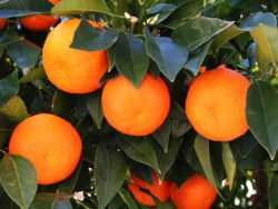 Citrus Growers Forced to Push Trees Due to Zero Water