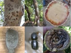 Fusarium Dieback / Polyphagous Shot Hole Borer