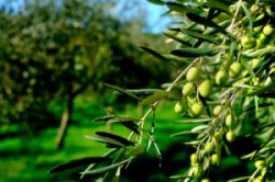 New Standards for California Olive Oil