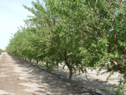 Nut Yields May Be Reduced by Drought
