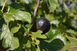 Fig Fest This Saturday!