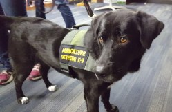 Dogs Detect Citrus Diseases