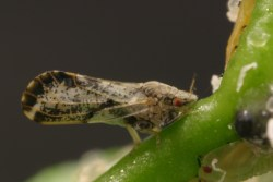 Fighting Asian Citrus Psyllid On and Off the Farm