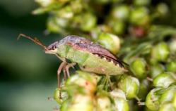 New IPM Work on Brown Stink Bug