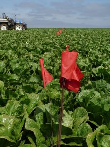 (Food_Safety)_Flags_in_the_field_mean_stop_harvest_here