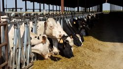 Air Resources Board to Rein In Cow Flatulence