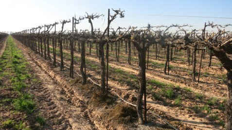 California grapevine rootstock