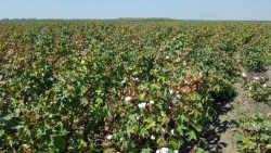 California Cotton field, Los Banos, Sept 2016