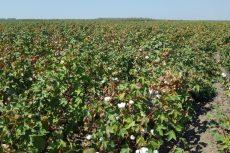 California Cotton field, Los Banos, Sept 2016