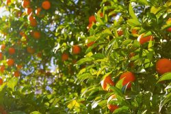 Study Forecasts Cost of Regulations on California Citrus Industry