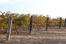 Fall winegrape vineyard