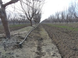 Almond irrigation