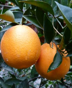 Volunteers Need for CDFA Citrus Pest Prevention