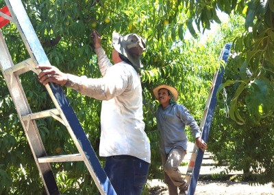 California Gerawan farm workers harvesting tree fruit