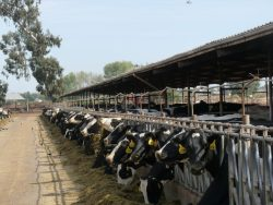 Calif. Dairy Organizations Collaborate Regarding Quota Program