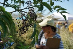The Wonderment Elderberries