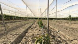Avocados Being Tested  For Central Valley Production