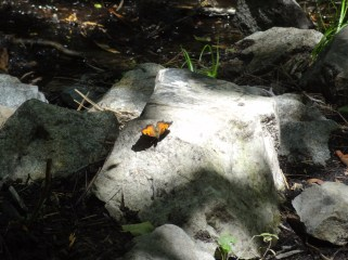 Butterfly on the rock - Genoa Loop Trail