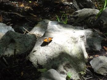 Butterfly on the rock - Genoa Loop Trail